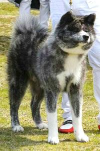秋田犬写真